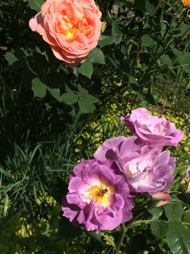 オレンジと紫のバラ